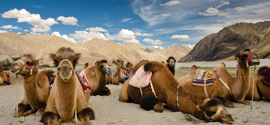 Double Humped Camel In Hunder, Leh Ladakh