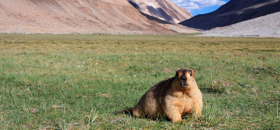 Marmot Animal in Changthang, Leh Ladakh