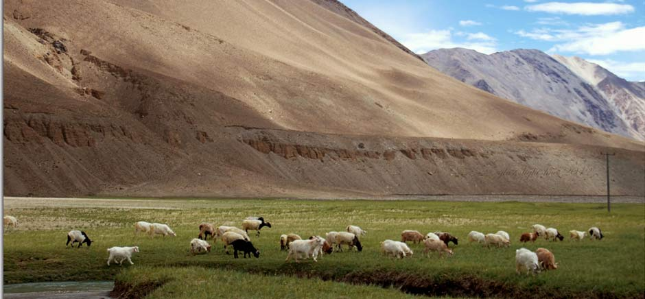 Sheeps in Changthang, Leh Ladakh